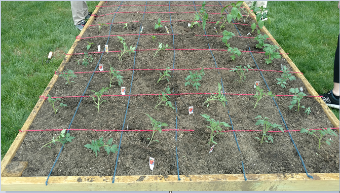 A grid of vegetable plants.