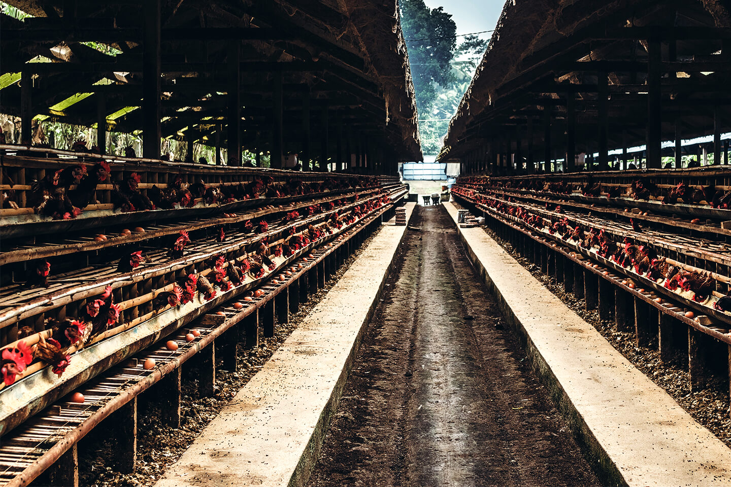 Chickens in Supply Chain