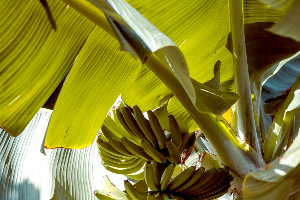Banana leaf curry recipes are very popular in Asia.
